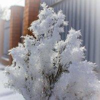 Туя зимой... :: Александр Посошенко