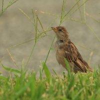 те кто ещё не очень хорошо летает питается травяными зёрнышками :: Naum