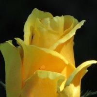 Можете не верить, но это роза! :: Вячеслав Медведев
