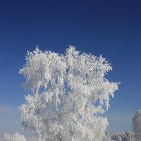 Белая берёза.... :: Ирина Королева