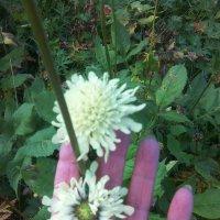Разные соцветия на  одном стебле скабиозы белой :: ТАТЬЯНА