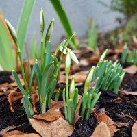 Самые, самые первые.... Весне дорогу! :: Galina Dzubina