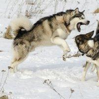 я злой и страшный серый волк)) :: николай постернак