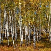 Осень в берёзовой роще :: Сергей Чиняев