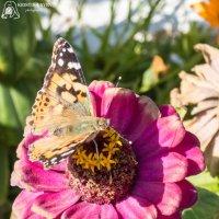 Бабочка весной :: Kristina Suvorova