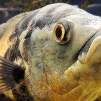 Рыбный портрет :: Ирина Крохмаль