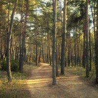 Сосновый лес :: Тамрико Дат