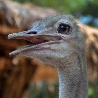 Портрет страуса :: Владимир Анакин