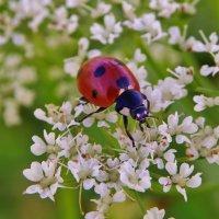 На цветочном лугу алая красотка ... :: Святец Вячеслав