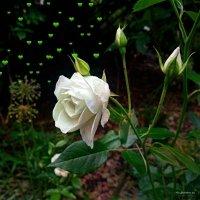 Городские цветы (серия). Что снится белой розе... :: Nina Yudicheva