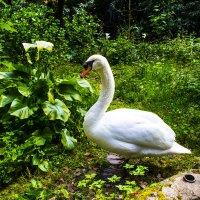 Лебедь :: Karolina