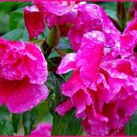 Петуния в дождливый день... :: Светлана