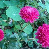 Розовое трио из нашего двора :: Нина Корешкова