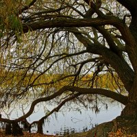 Ивушка у озера :: Alexander