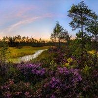 Цветущий вереск на болоте. :: Фёдор. Лашков