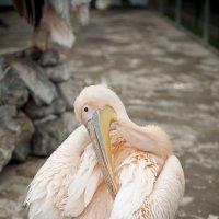 Пеликан розовый :: Ксения Плотникова