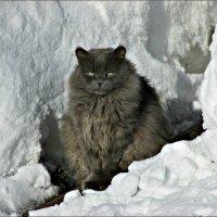 Снежный кот :: Leonid Rutov