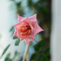 Нежная роза) :: Julia Volkova