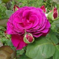 Роза в саду :: Swetlana V