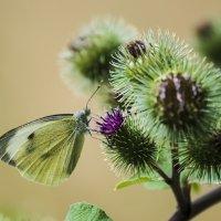 Бабочка и лопух :: Valentina M.