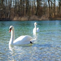 Белый лебедь, лебедь чистый..., Безмятежно-серебристый... :: Galina Dzubina