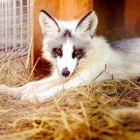 Мраморная лисица :: Ксения Курилина
