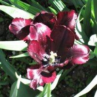 """Тюльпан """"Черный принц"""". :: Ираида Мишурко"""
