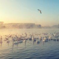 Лебединое озеро :: Оля Володина (Бурмистрова)