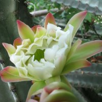Цветок кактуса кубо (Цереус) :: Надя Кушнир