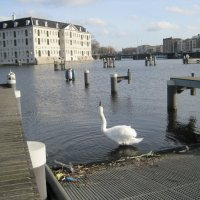 Амстердамский лебедь :: Ольга Теткина