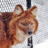 Красный волк :: Аркадий Лаптенко