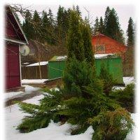 Вечнозеленая радость.... :: Tatiana Markova