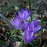"""""""Снова март, Расцветают подснежники...."""" :: Galina Dzubina"""