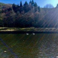 Пруд и лебеди :: Karolina