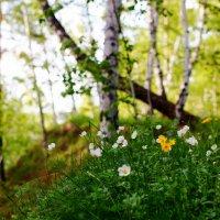 Первоцветы :: Сергей Царёв