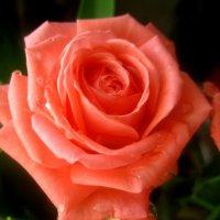 Милые женщины, будьте счастливыми и прекрасными ,как эта роза.С 8 Мартом! :: Елена Семигина