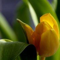 Тюльпаны к празднику... :: Валерия  Полещикова