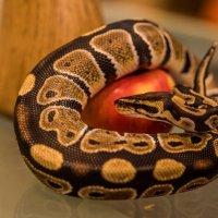 змей искуситель :: Виктор Николаев