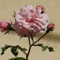 Розы* :: Алексей Цветков