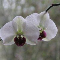 Орхидеи :: Inna Vicente Rivas