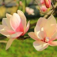 Цветы магнолии Суланжа :: valeriy khlopunov