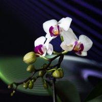 Домашние орхидеи. Фаленопсис. :: Alena Nuke