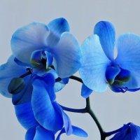 Голубое чудо :: Татьяна Смоляниченко