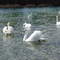 Лебединое озеро! ...) :: Galina Dzubina