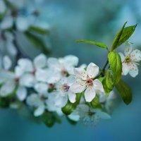 Про нежность весеннего цвета... :: KateRina ***