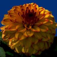 Хризантемы 8 по фото laana ladas :: Владимир Хатмулин