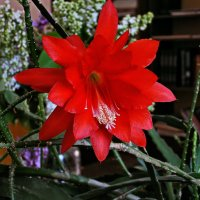 Цветок зигокактуса :: Владимир Ильич Батарин