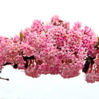 Розовое облако :: Alexander Andronik
