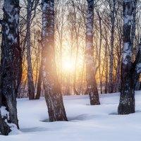Закат в березняке :: Сергей Добрыднев