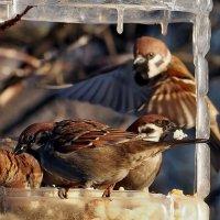 Кстати о птичках... Из жизни заоконных кур.... :: Александр Резуненко